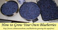 How+To+Grow+Your+Own+Blueberries