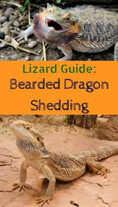 bearded-dragon-shedding