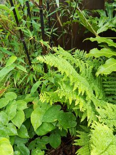 Ferns and Black Bamboo  // Great Gardens & Ideas //