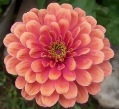 "AN ELEGANS TYPE OF ZINNIA, ""SALMON QUEEN"" PRODUCES HUGE, FULL-FORMED, ROUNDED BLOOMS THAT YOU CAN ENJOY ALL SUMMER UNTIL FROST! THEY ATTRACT"