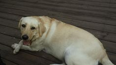 Lost Dog - Labrador Retriever - Peachtree City, GA, United States 30269