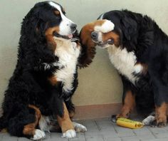 The Bernese paw!                                                        …
