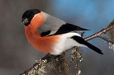 "Eurasian bullfinch, it's Swedish name ""Domherre"" is literally translate to Doomlord, it's best bird Parus Major, Bullfinch, Game Birds, Colorful Birds, Bird Species, Pet Birds, Birds 2, Bird Art, Bird Feathers"