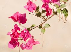 Image result for bougainvillea branch