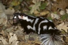 Spotted Skunk - found in North America. Weird And Wonderful, Panda Bear, Funny Animals, Odd Animals, Mammals, Cool Words, Pets, Skunks, Amazing