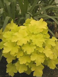 12 Inches x   14 Inches White flowers / Yellow foliage Hardiness Zone: 4,5,6,7,8,9  Sun or Shade?:   Part shade (4-6 hrs. direct sun)   Full shade (< 4 hrs. direct sun)   Average water needs   Heuchera Citronelle Attracts butterflies   Attracts hummingbirds   Deer resistant   Evergreen (in some or all zones)