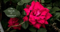 Roses are beautiful and smell terrific, but, the thorns can take away from their beauty. Ever try to cut your own rose from a bush? Some are very thorny while others are not so bad as long as you h…