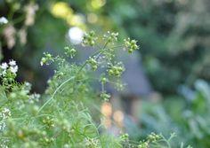 Edible Gardening 101: Harvesting Coriander Seeds