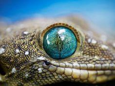 lizards have such strange eyes!