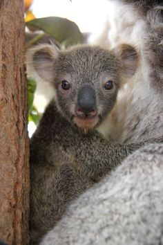 Taronga Zoo is celebrating the arrival of its first Koala joey for this year's breeding season, with a tiny face starting to emerge from its mother's pouch.Part of Taronga's Koala breeding program, the yet-to-be-named joey is the third for experienced mother, Wanda. Check out ZooBorns to learn more and see more! http://www.zooborns.com/zooborns/2015/06/first-koala-joey-of-the-season-at-taronga-zoo.html