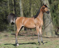 Arabian Cutie