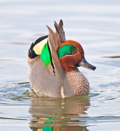 Green-winged Teal 1/28 in Port Angeles