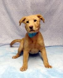 Josie is an adoptable Labrador Retriever Dog in Cassopolis, MI. Josie is a 3 month old lab mixed puppy that could pass for purebred!  She is a sweet affectionate gal, much into play.  Josie is a bit s...