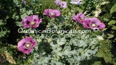 A SINGLE Opium Poppy Plant w/ over 75+ PODS n BLOOMS | #OrganicalBotanicals
