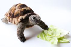 Needle Felted Tortoise Large Tortoise Sculpture by YvonnesWorkshop, $230.00