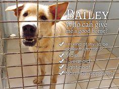 adopt singapore dog Bailey