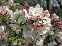 Most ornamental Trees for your garden -Malus Evereste Crabapple has Magnificent Blossoms