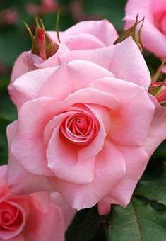 Roses Gardening Pink Rose - Yatsu Rose Garden, Yatsu, Narashino, Chiba, Japan 谷津バラ園 Please view in large image. Beautiful Rose Flowers, Love Rose, Amazing Flowers, My Flower, Flower Power, Pink Flowers, Beautiful Flowers, Cactus Flower, Exotic Flowers