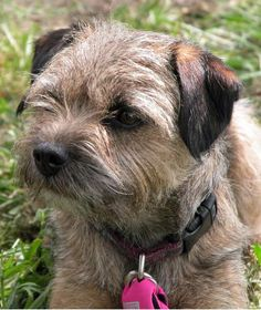 Border Terrier- looks like a short shamrock:_ Best Dog Breeds, Best Dogs, I Love Dogs, Cute Dogs, Terrier Dogs, Terriers, Big Dog Little Dog, Purebred Dogs, Brown Dog