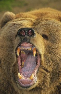 Kodiak Bear ~ up close and personal!