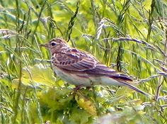 Skylarks are an iconic British species - they are the very voice of British Spring and their song was once commonplace in our countryside.