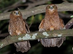 Christmas Island Hawk Owls (Ninox natalis) pair. Photo by Richard Jackson.