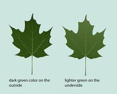 How to Identify Sugar Maple Trees: 9 steps - wikiHow Maple Syrup Tree, Maple Tree, Trees And Shrubs, Trees To Plant, Tree Leaf Identification, Sugar Bush, Maple Sugar, Edible Wild Plants, Living Off The Land