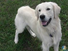 the really white goldens are actually called english creme golden retrievers- my future dog!