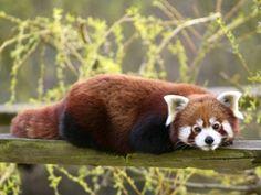 Envie d'une escapade dans la savane? Venez découvrir la réserve africaine de Thoiry! N'oubliez pas de rendre visite aux plus petits avec l'Arche des petites bêtes!  Un lieu de découvertes fascinantes où les animaux vivent en cohésion avec la nature!  Panda roux ©2013Arthus Boutin