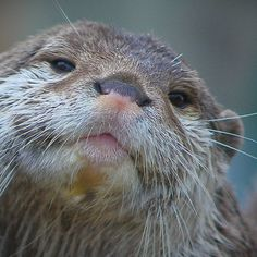 ~~ Proud To Be A Otter ! ~~ I love otters... Wish I could be one!!!
