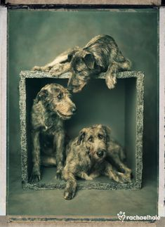 Wings, Rana and Garbhan (Irish Wolf Dogs) - Two Irish Wolfhounds in a box is company, three is a crowd. Big Dogs, Cute Dogs, Dogs And Puppies, Doggies, Giant Dogs, Dog Pictures, Animal Pictures, Irish Wolfhounds, Vintage Dog