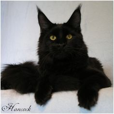 Maine Coon Kater, Farbe: Black Solid, Dark Cocoon Hancock
