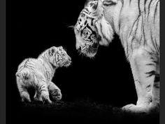 Les tigres blancs sont des tigres du Bengale présentant une anomalie génétique.