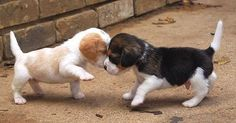 Beagle puppies...I would love another one! #beaglepuppy