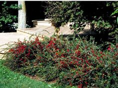 17 Low-Maintenance Plants and Dwarf Shrubs: The pink flowers on this shrub are followed by red fruit. Cotoneaster horizontalis. Semi-evergreen arching shrub with dark green foliage, pink flowers followed by red fruit. Plant in fertile, average to moist, but welldrained soil. Plant in full sun to partial shade. Height: 5-6 feet Width: 6-8 feet Hardy in USDA zones 4-7: Zone 4: Plant in spring ....