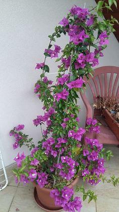 Pěstování bugenviley Gladiolus, Bougainvillea, Bonsai, Hibiscus, Flora, Nature, Police, Garden, Plant Pots