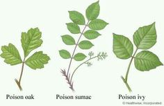 3 Poisonous Plants Guide: Poison Oak, Poison Ivy, Poisonous Sumac – Leaves of three, let them be! Zombie Apocalypse, Oak Leaves, Plant Leaves, Ivy Plants, Shade Plants, Potted Plants, Poisonous Plants, Poisonous Snakes, Botany