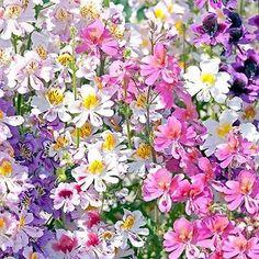 Butterfly Flower Angel Wings Seeds (Schizanthus x Wisetonensis) 200+Seeds - Under The Sun Seeds  - 1