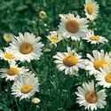 Gardening Farmer's Almanac Bloom: Late Spring/EarlySummer through Early Fall - Shasta Daisies
