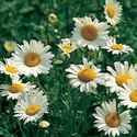 Shasta Daisies: How to Plant, Grow, and Care for Daisy Flowers
