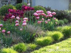 Znalezione obrazy dla zapytania tulipan virichic ogrodowisko
