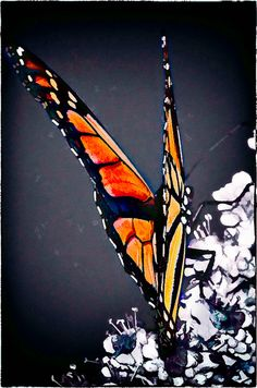 Another Gorgeous Monarch