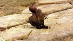 Unik Tanpa Dilatih Anak Burung Bondol/ Pipit Jawa ( Lonchura leucogastro...
