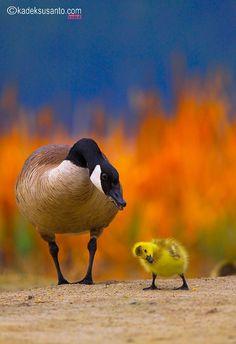 "The Young Gosling:  ""Yes Mom!  I understand!""  (Photo By: © kadeksusanto.com )"
