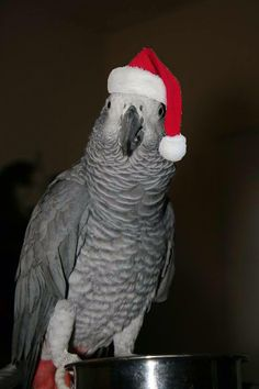 santa parrot