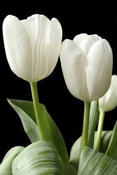 tulips garden care Most up-to-date Cost-Free Tulip flower Tips Extended stay the tulip ! Plant the ing extremely colorful gem mobile phone . an attractive display in Purple Tulips, White Tulips, Tulips Flowers, White Flowers, Beautiful Flowers, Roses, Garden Care, Tulips Garden, Planting Flowers