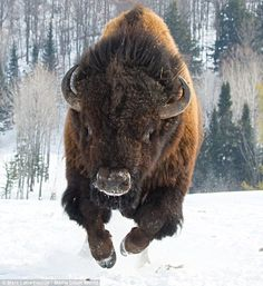 Time to go! A huge, angry bison charges at the photographer in a wildlife park in Ontario, Canada