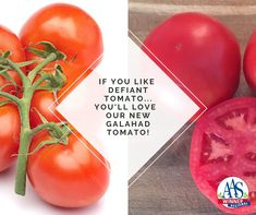 This year, you will want to try our new AAS Winner Tomato Galahad in your garden! It has a high level of Late Blight resistance and is a high-yielding, great-tasting tomato that grows on a strong sturdy plant. Judges agreed that the sweet, meaty flavor is better than that of the comparison varieties and boasts of being crack resistant. Vegetable Gardening, Gardening Tips, Grow Your Own Food, Judges, Unique Recipes, Raised Garden Beds, High Level, House Plants, Harvest
