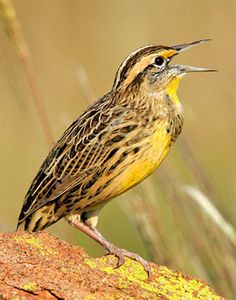 Western Meadowlark - my state bird lol
