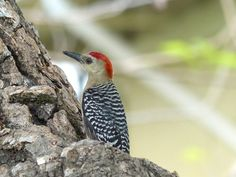 http://faaxaal.forumgratuit.ca/t3425-photo-de-picide-pic-a-couronne-rouge-melanerpes-rubricapillus-red-crowned-woodpecker